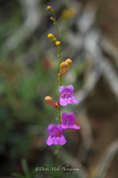 Wildflower in the Ansel Adams Wilderness