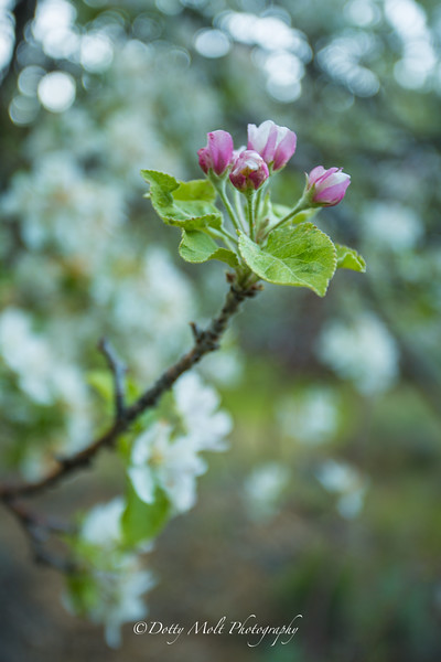 Apple blossoms, Thomas Creek, NV