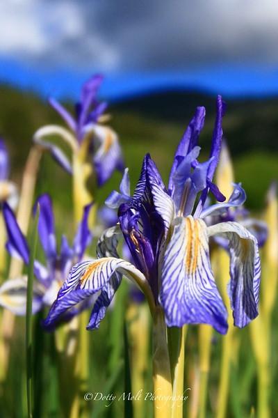 Stormy Iris