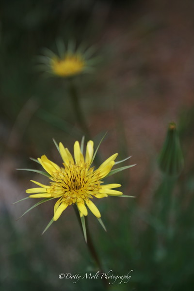 Yellow Salsify