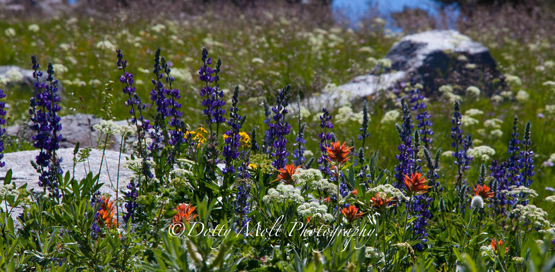 Carsons Pass  Wildflowers