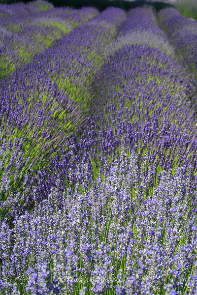 Purple Rows of Lavender
