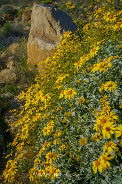Sunflowers 2 Anza Borrego