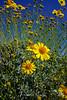 Sunflower 1 Anza Borrego