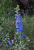 Delphinium on Thomas Creek, Reno, NV