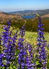 Lupines Caples Lake, Carsons Pass