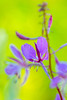 Fireweed Abstract