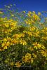 Sunflower Celebration Anza Borrego