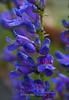 Purple Snaps