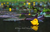 Yellow Water Lily on Rock Lake
