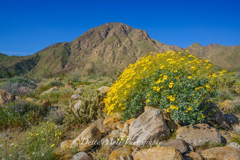 Sunflower Landscape Anza Borrego
