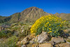 Sunflower Landscape Anza Borrego