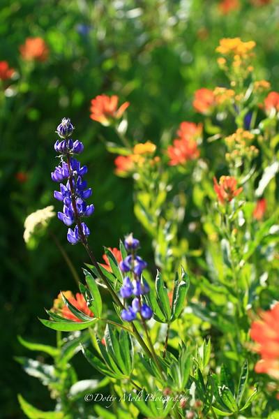 Lupine and Indian Paintbrush, Carsons Pass