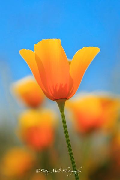 Napa Poppy