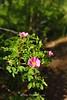 Wild Rose Mt. Rose Wilderness