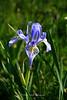 Wild Iris, Carsons Pass