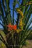 Ocotillo Blossom Anza Borrego