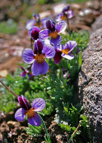 Beckwith Violet, Timberline Road, Nevada