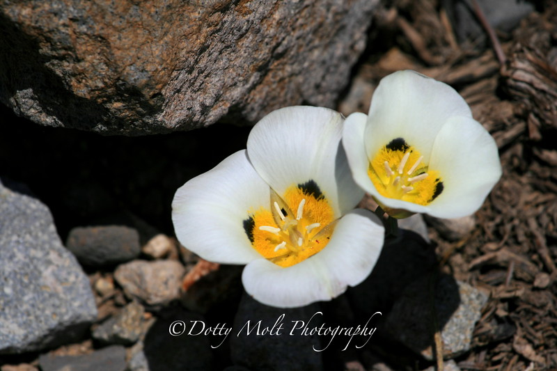 Sego Lilies at Barkers Pass, Ca