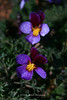 Beckwith Violet
