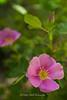 Wild Rose, Mt. Rose wilderness