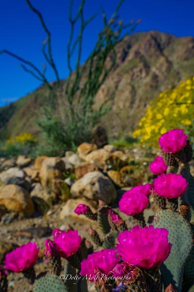 Porcupine Cacti Bloom Anza Borrego