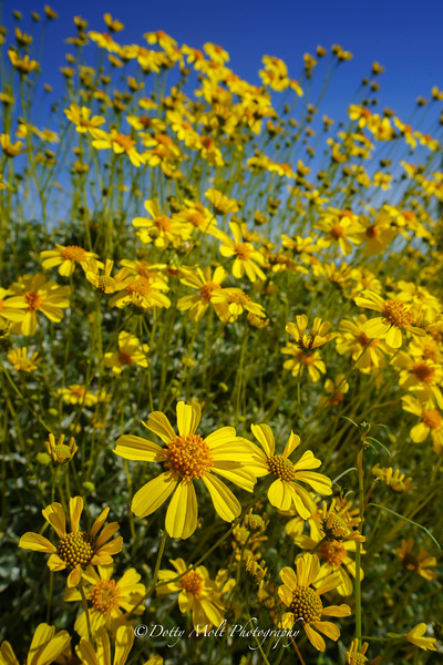 Sunflower Joy Anza Borrego