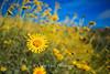 Death Valley Sunflower