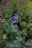 Lupine Stream, Mt. Rose Wilderness