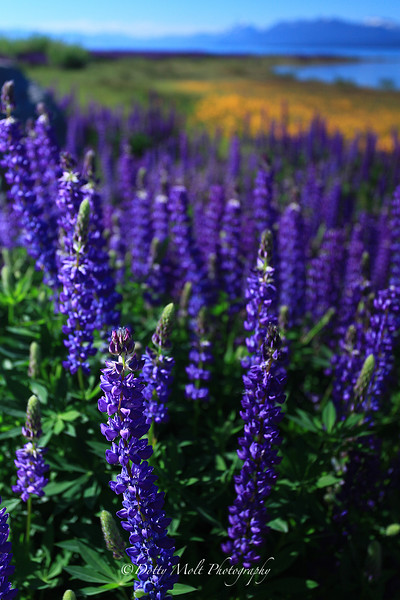 Lupine Monet, Forest Lake Road