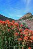 Indian Paintbrush Five Mile Canyon, Virginia City, NV