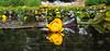 Yellow Water Lily on Rock Lake, NV