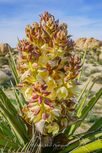 Yucca Bloom up close and personal Joshua Tree NP