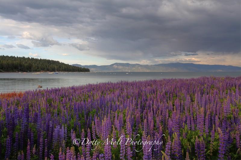 Lupines on Lake Tahoe