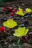 Woody Fruited Evening Primrose 2