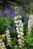 White Lupine