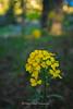 Yellow Bee Plant