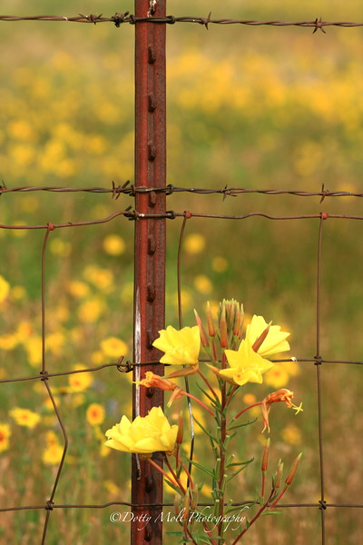 Tall Evening Primrose along an iron fence  Old 395