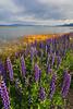 Heavenly Lupines on Lake Tahoe