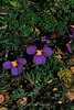 Beckwith Violets