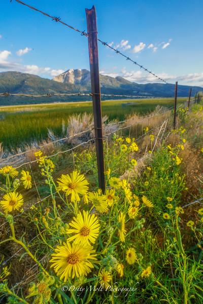 Washoe Sunshine Common Tarweed