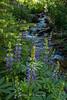 Lupines along Whites Creek