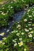 Marsh Lilies Trickle Creek