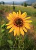Sunflower Old 395