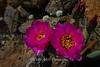 Florescent Blooms Anza Borrego