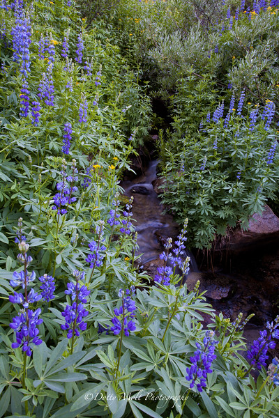 Mt. Rose Wilderness Lupines and Stream