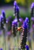 Bee in Lavender  Sonoma, California