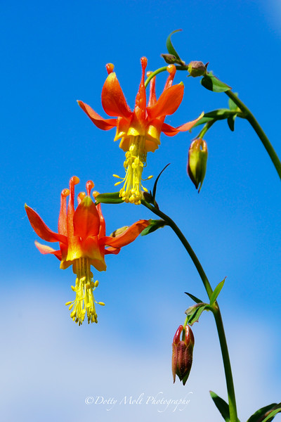 Crimson Columbine Duo