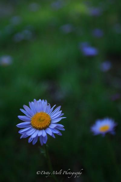 Lavender Daisy