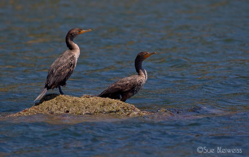 double crested cormorant (juveniles)